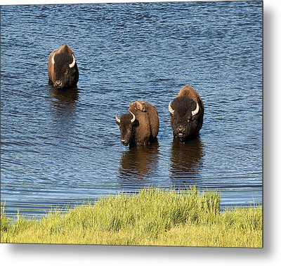 Bison Enjoying The Water Metal Print by Paul Cannon