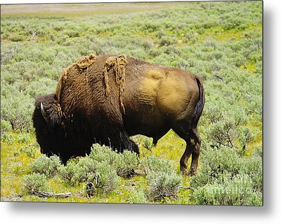 Bison Metal Print by Jeff Swan