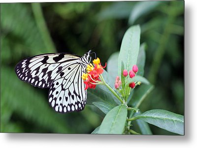 Black And White Butterfly  Metal Print by Abiy Azene
