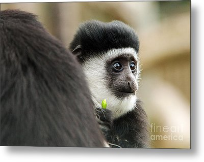 Black And White Colubus Monkey Metal Print by Pete Reynolds