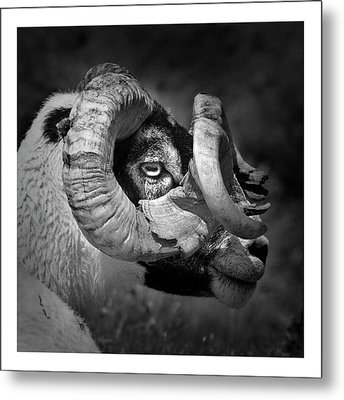 Black And White Image Of Ram Metal Print by Colin Campbell