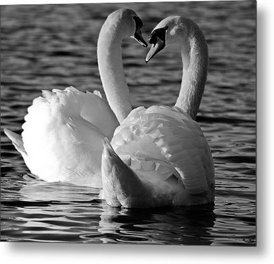 Black And White Swan Heart Metal Print by Geraint Rowland