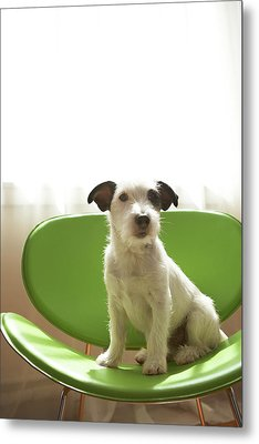 Black And White Terrier Dog Sitting On Green Chair By Window Metal Print by Chris Amaral