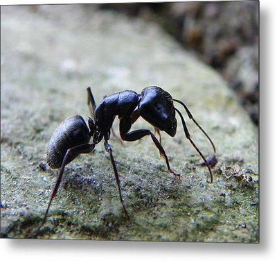 Black Ant 2 Metal Print by Chad and Stacey Hall