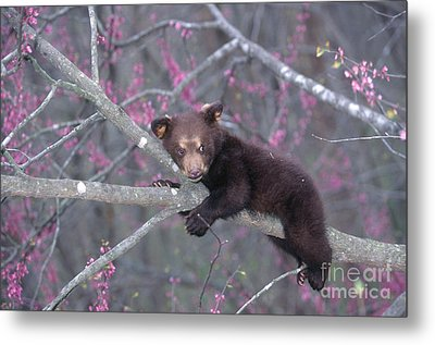 Black Bear Cub On Branch Metal Print by Alan and Sandy Carey and Photo Researchers