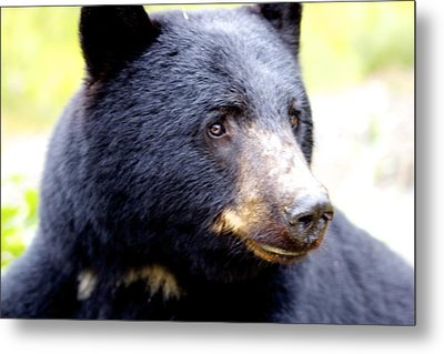 Black Bear Metal Print by Sylvia Hart