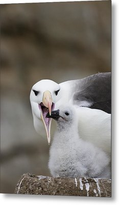Black Browed Albatross Preparing Metal Print by Suzi Eszterhas