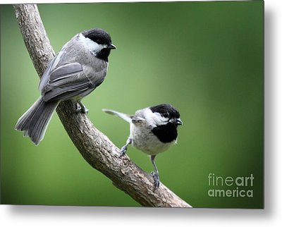 Metal Print featuring the photograph Black-capped Chickadees by Jack R Brock