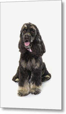 Black Cocker Spaniel With Golden Boots Metal Print by Corey Hochachka