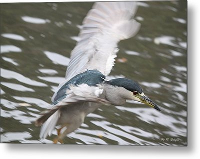 Metal Print featuring the photograph Black Crowned  Night Heron by Amy Gallagher