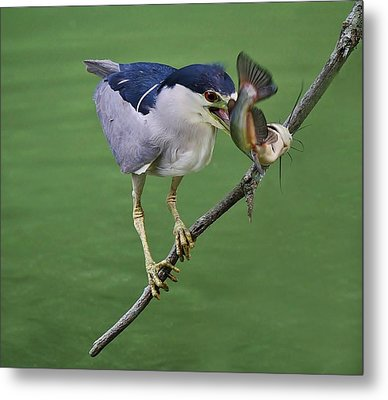Black Crowned Night Heron With A Catfish Metal Print by Paulette Thomas