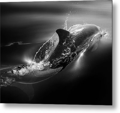 Black Dolphin Metal Print
