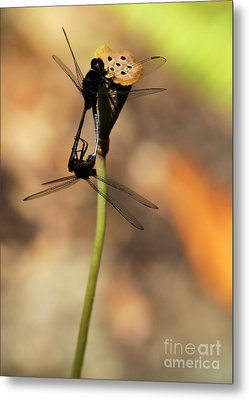 Black Dragonfly Love Metal Print