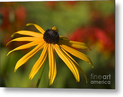 Black-eyed Susan 2 Metal Print by Sharon Talson