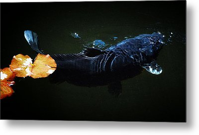 Black Koi By The Lillies Metal Print by Don Mann