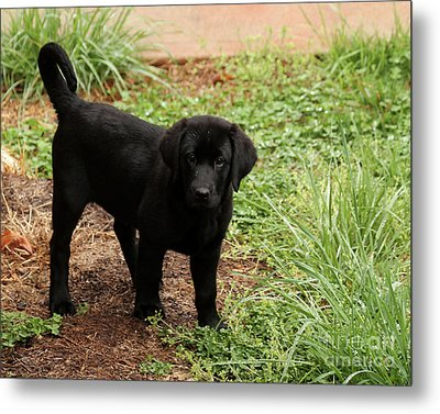 Black Lab I Metal Print