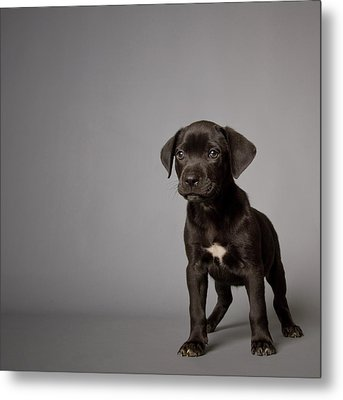 Black Puppy Metal Print by Square Dog Photography