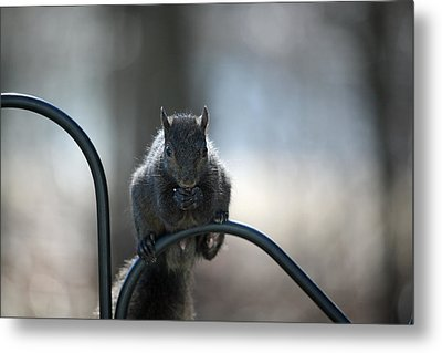 Black Squirrel  Metal Print by Karol Livote