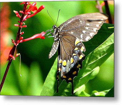Metal Print featuring the photograph Black Swallow Tail Butterfly by Jodi Terracina