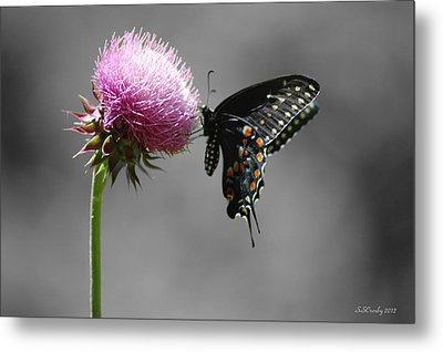 Black Swallowtail And Thistle Metal Print