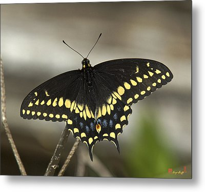 Black Swallowtail Din103 Metal Print by Gerry Gantt