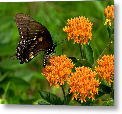 Black Swallowtail Visiting Butterfly Weed Din012 Metal Print by Gerry Gantt
