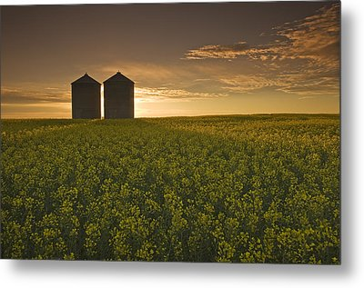 Bloom Stage Canola Field With Grain Metal Print by Dave Reede
