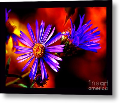 Blooming Asters Metal Print by Susanne Still