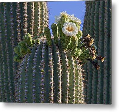 Blooming Saguaro   Sonora Desert Metal Print by Nathan Mccreery