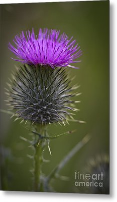 Blooming Thistle Metal Print by Clare Bambers