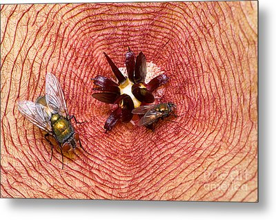 Blowflies On Stapelia Metal Print by Dant� Fenolio