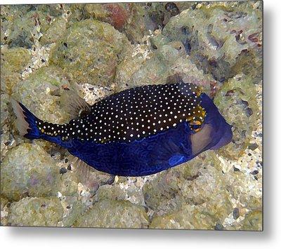 Blue Box Puffer Fish Metal Print by Tony and Kristi Middleton