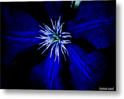 Blue  Clematis Metal Print by Toma Caul
