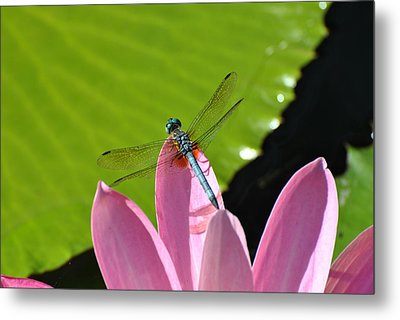 Metal Print featuring the photograph Blue Dragonfly On Pink Water Lilly by Jodi Terracina