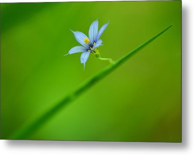Metal Print featuring the photograph Blue-eyed Grass by JD Grimes