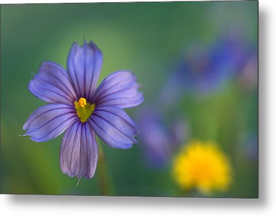 Blue Eyed Grass Metal Print by Kathy Yates