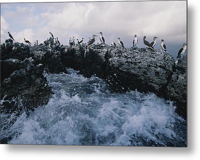 Blue-footed Boobies On A Rocky Metal Print by Annie Griffiths
