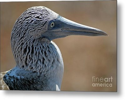 Blue-footed Booby Metal Print by Sami Sarkis