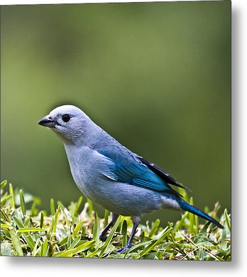 Blue-grey-tanager Metal Print by Heiko Koehrer-Wagner