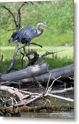 Metal Print featuring the photograph Blue Heron At The Lake by Debbie Hart