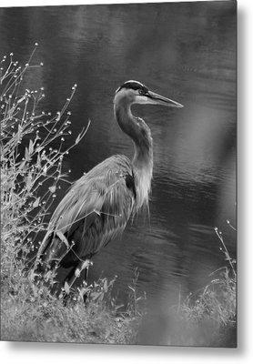 Blue Heron Observing Pond - 51006955m  Metal Print by Paul Lyndon Phillips