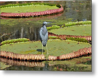 Metal Print featuring the photograph Blue Heron On Giant Lilly Pad by Jodi Terracina