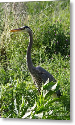 Metal Print featuring the photograph Blue Heron by Tannis  Baldwin