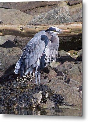 Blue Heron  Metal Print by Tracey Levine
