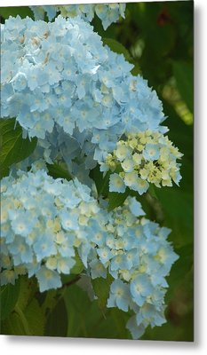 Blue Hydrangeas Metal Print by Peg Toliver