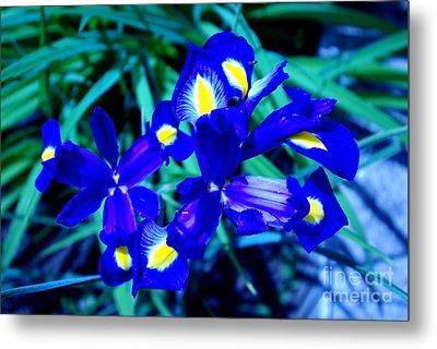 Blue Iris Metal Print by AmaS Art