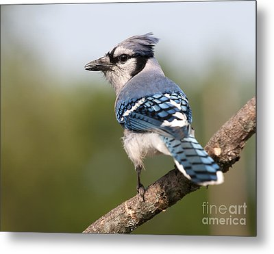 Blue Jay Metal Print by Art Whitton