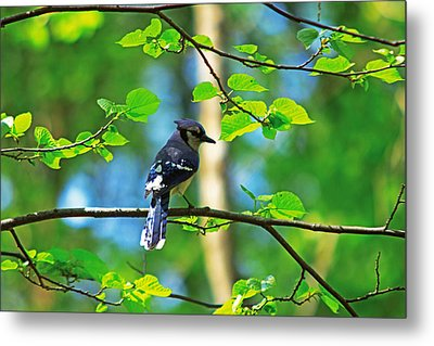 Metal Print featuring the photograph Blue Jay by Josef Pittner