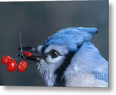 Blue Jay Metal Print by Photo Researchers, Inc.
