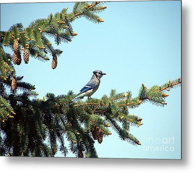 Blue Jay Metal Print by Ronald Tseng